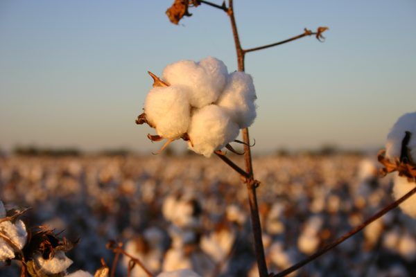 Cotton Australia - cotton plant.