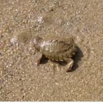 Fitzroy River Turtle
