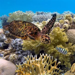 A turtle navigates through coral on the Great Barrier Reef.